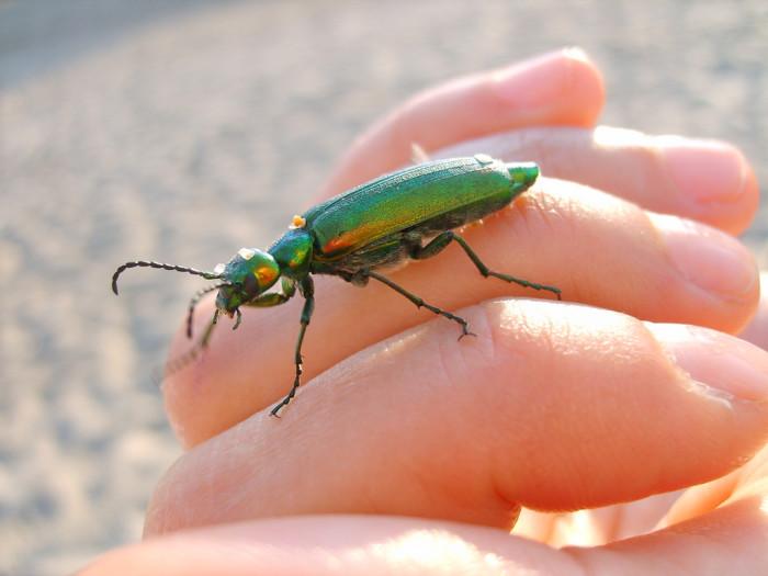 5. Blister Beetle