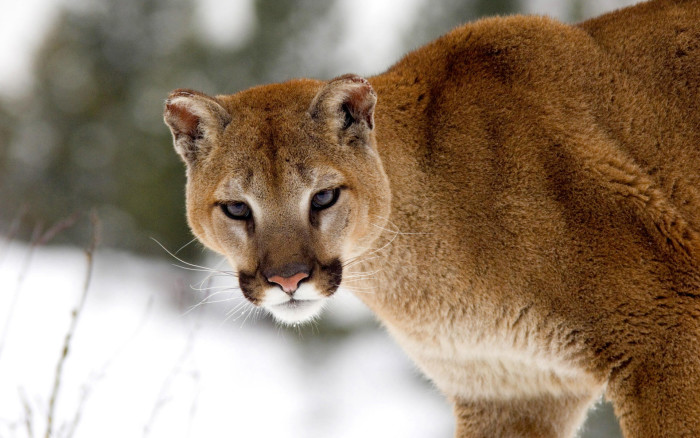 5. A mountain lion making eye contact.