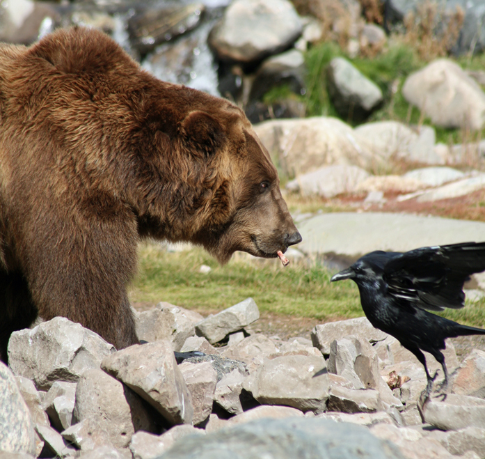 8. A grizzly and a raven.