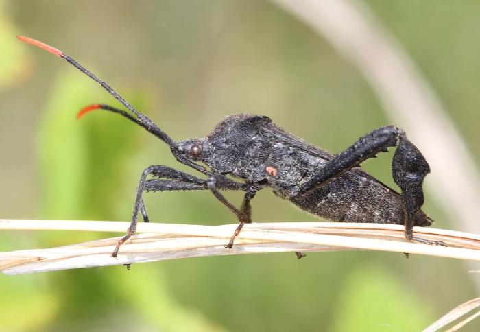 5. Leaf-Footed Bug