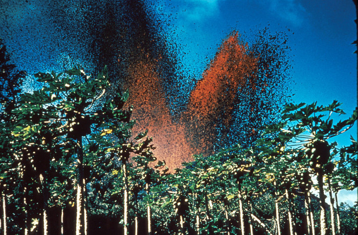 6) Massive lava fountain spewing into the air above a group of papaya trees; by late Jaunary 1960, most of Kapoho was destroyed.