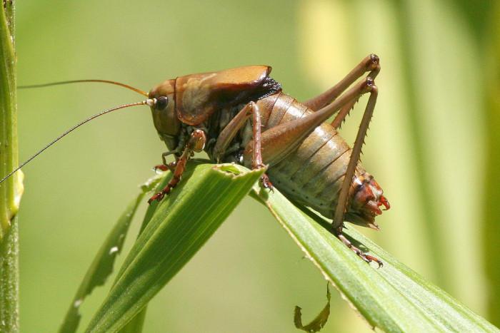 6. Mormon Cricket