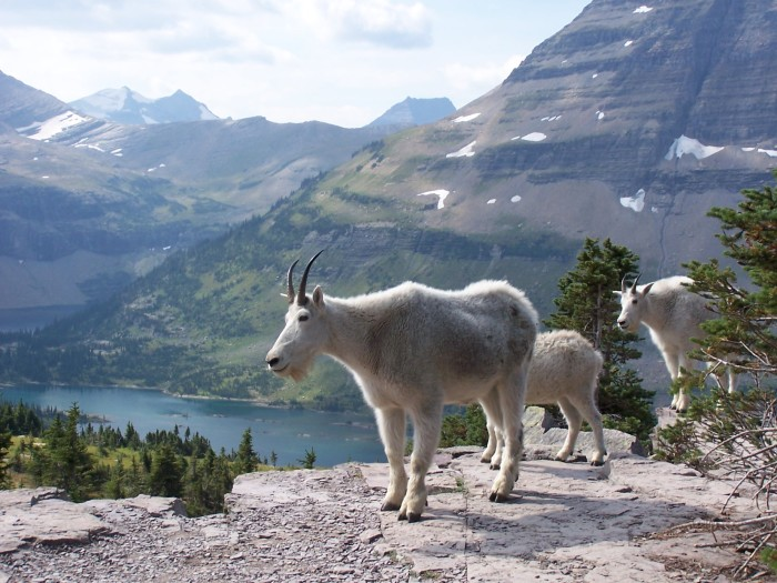 6. Majestic mountain goats.