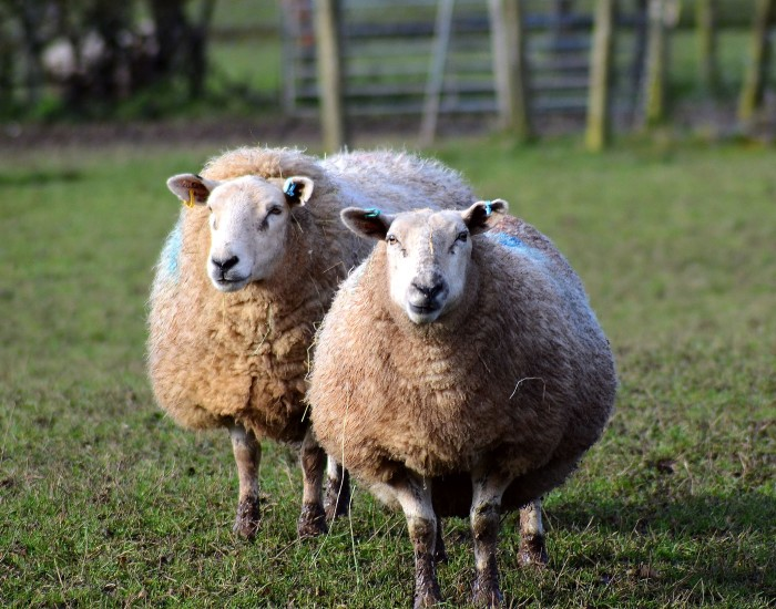 4. It is illegal to drive with a sheep in the cab of your truck unless you have a chaperone.