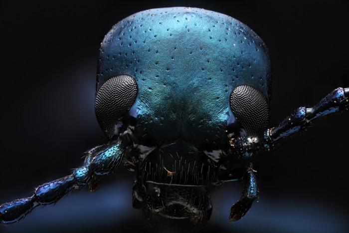 7. Oil Beetle
