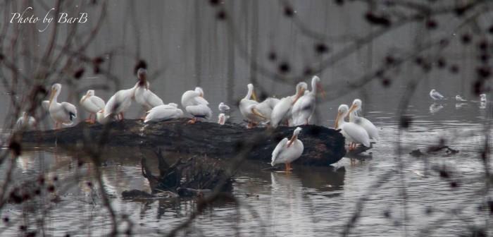 12. Pelicans