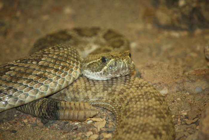 4. There is also one type of venomous snake found in North Dakota, the Prairie Rattlesnake.