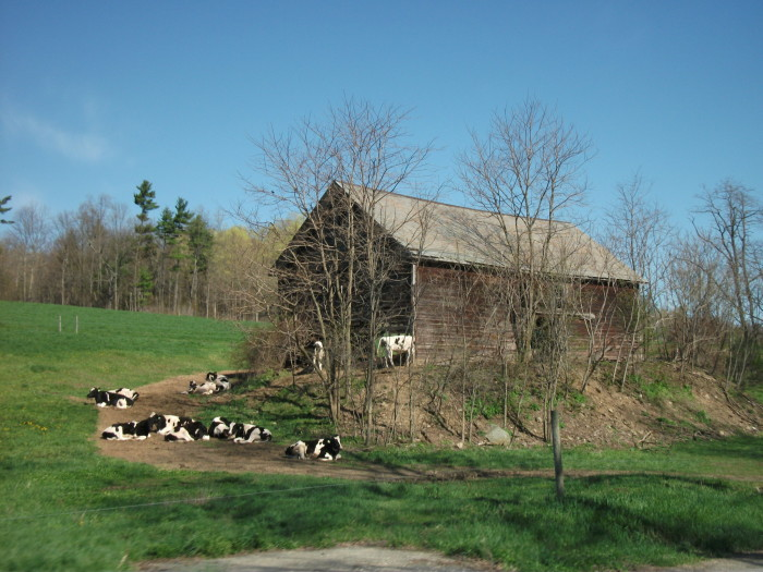 3. A Rensselaer County farm featuring one of our favorite rural details, cows!