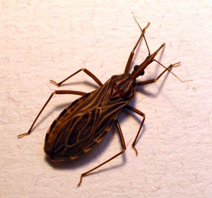 1. Kissing Bugs