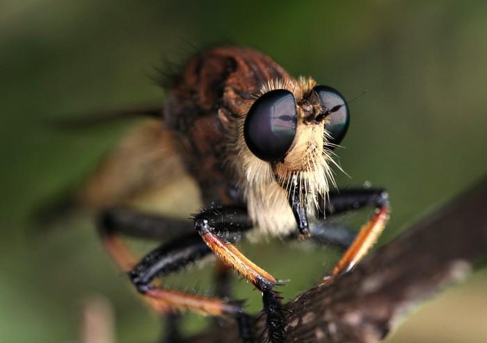 9. Robberfly