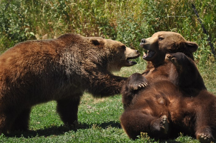 15. Grizzly playtime.