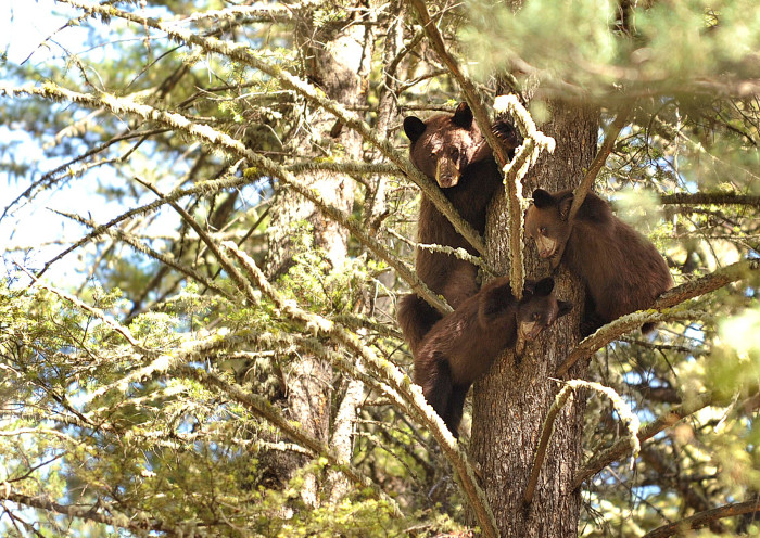 11. A mama bear and her cubs in a tree.