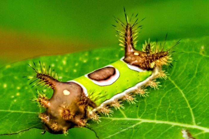 8. Saddleback Caterpillar