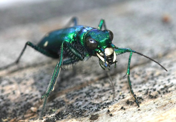 Six Spotted Tiger Beetle. 12 Creepy Bugs Found In New York