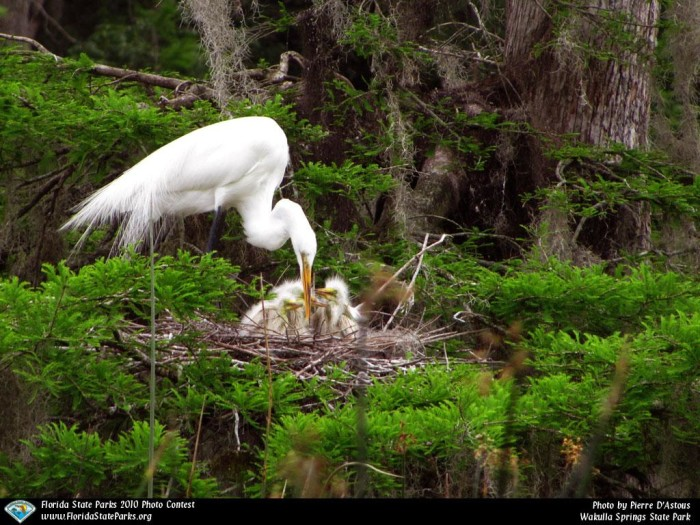 Wakulla-Springs_contest_Pierre-DAstous_Feeding-the-Young