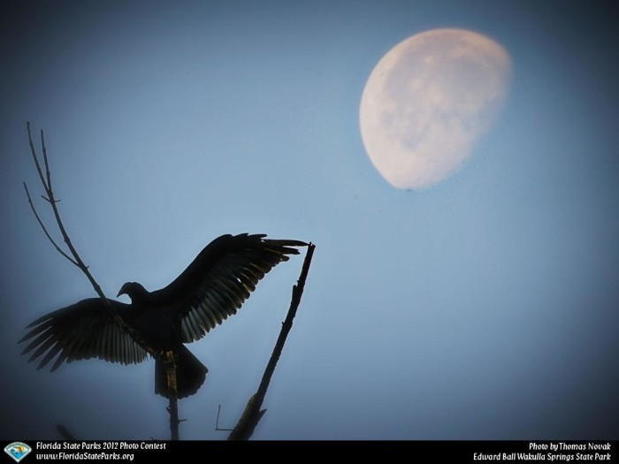 Wakulla-Springs_contest_Thomas-Novak_Moon-Buzzard