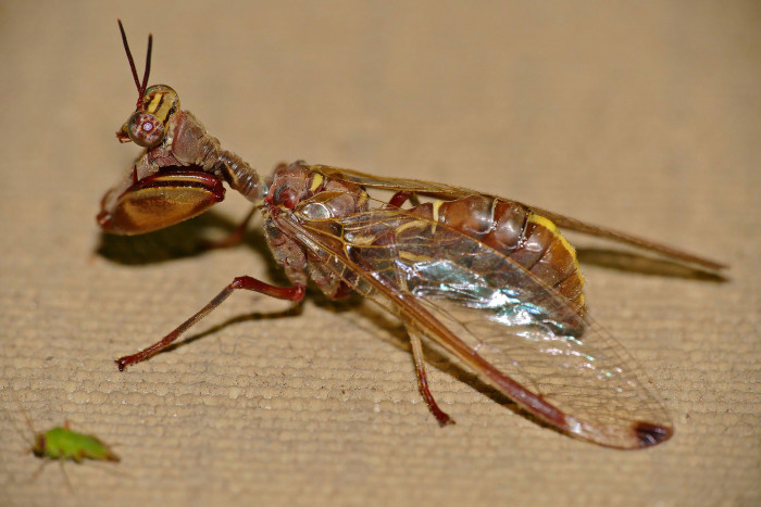 9. Brown Mantidfly