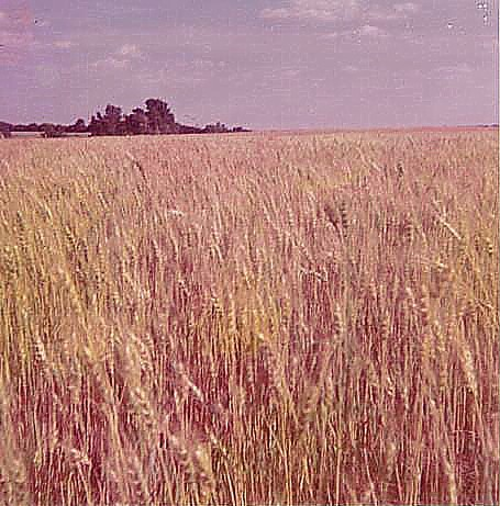"4. ""Winter wheat awaiting harvest in Kansas, 1972."""