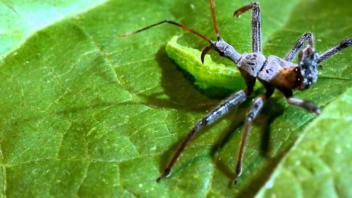 2. Assassin Bug
