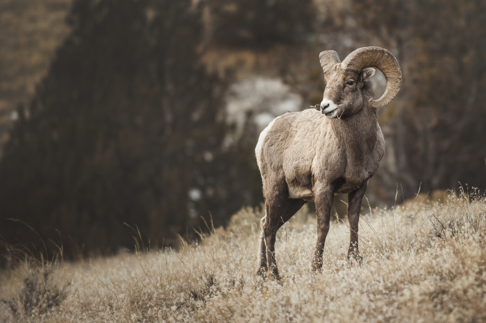 1. Closeup of a bighorn sheep.