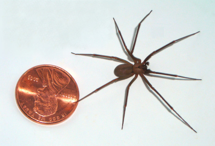 4. Brown Recluse spiders. Because there's nothing scarier than 8 legs running at you at full gallop.