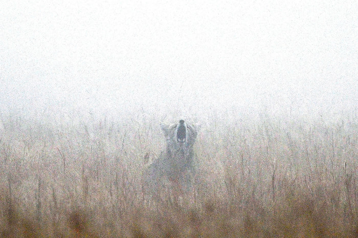 5. Coyote howls are always a little unnerving. The sight of one baying while engulfed in fog is definitely magical, but also eerie.