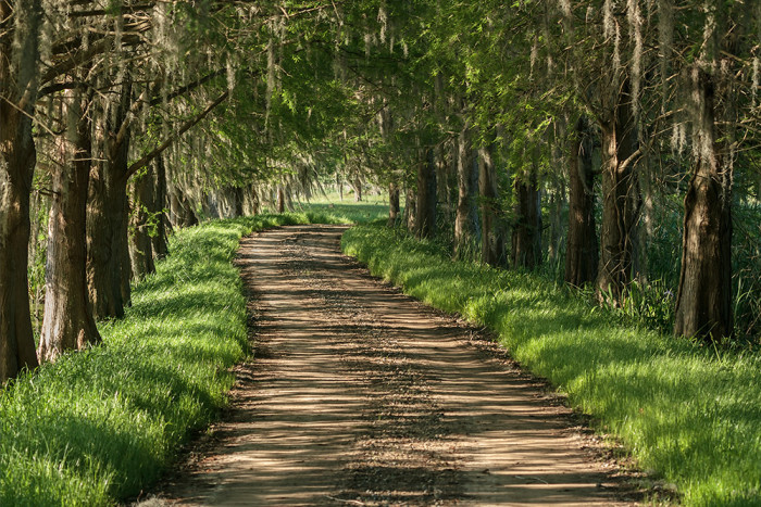 14. A cypress-lined Lowcountry dirt road.