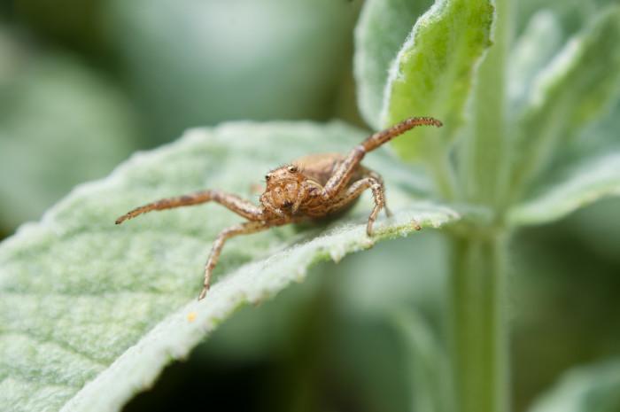 1. Ground Crab Spider