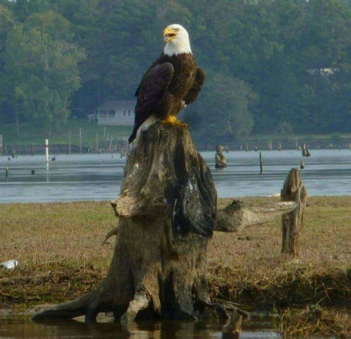 8. The regal eagle would be awesome in a nature film.