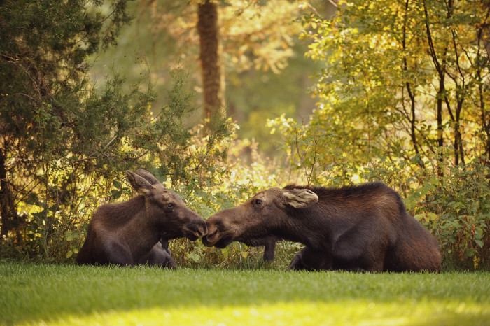2. A moose smooch.