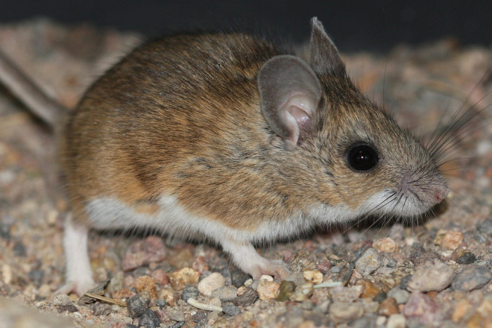 8. Rodents