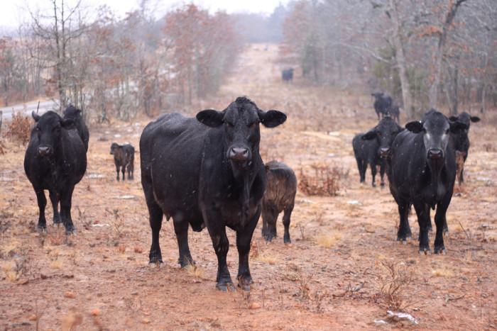 6. Still convincing out-of-towners that 99.9% of Oklahomans have never been cow tipping.