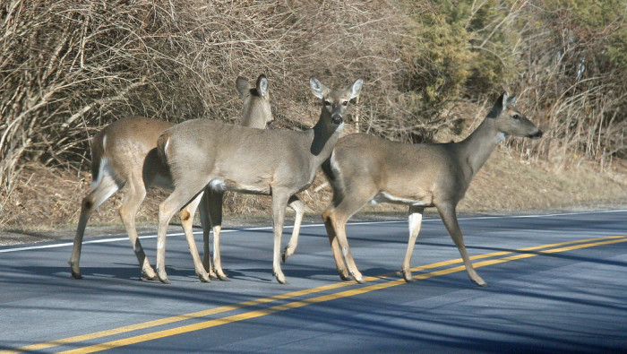 14. You stop to let a family of deer cross the road, while your significant other is drooling at the thought of deer season.