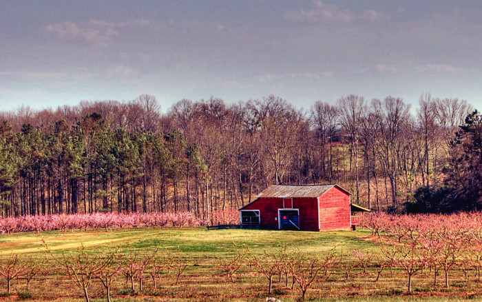 10. This peach farm in South Carolina is straight out of the movies.