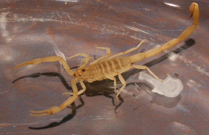 7. Scorpions