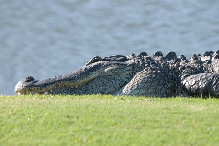 6. You've encountered an alligator in the wild - or on a golf course, like this one. Hopefully your encounter isn't up close like this photo.