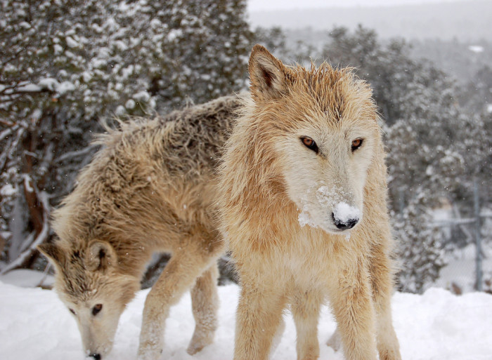 6. Wild Spirit Wolf Sanctuary, Candy Kitchen