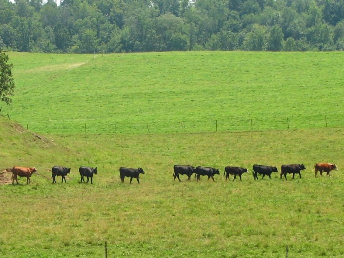 3. Love this shot of cows walking in a line in Sauk.