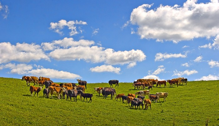 4. Spectacular shot of cows under a beautiful sky in Eau Claire County.