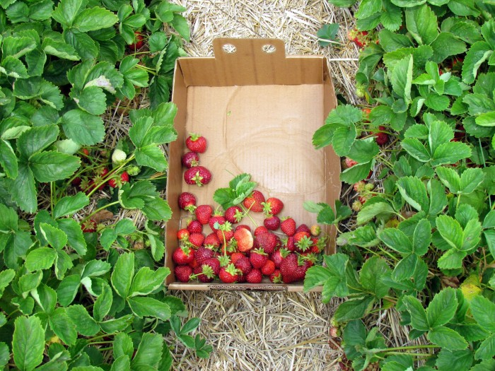 10. Who doesn't love fresh strawberries, like these in Oostburg?
