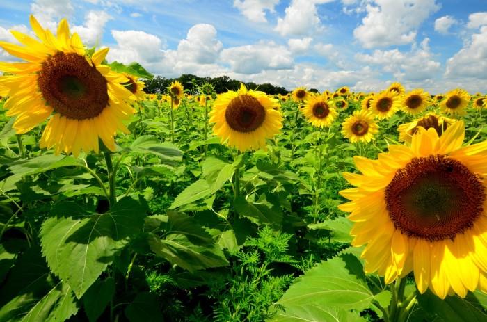 11. When sunflowers emerge in Wisconsin, it is transformative.