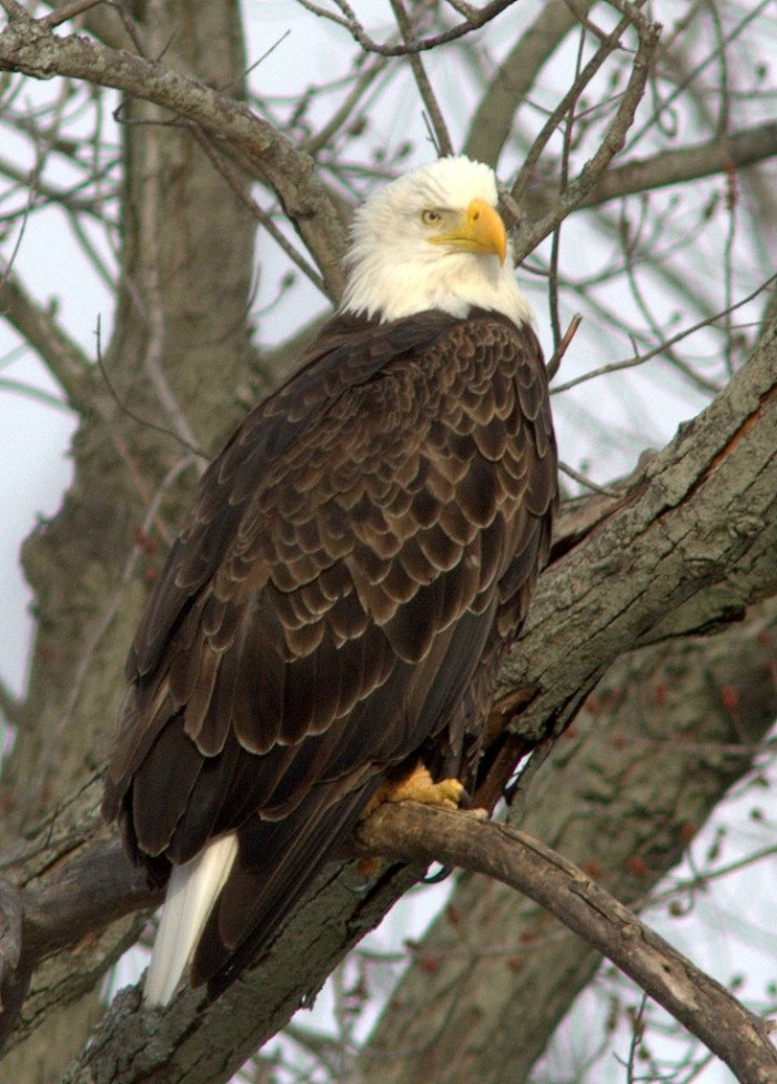 8. We have an incredible amount of bald eagles who spend winters here.