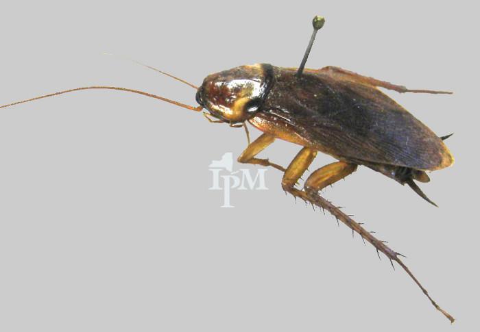 8. American Cockroach