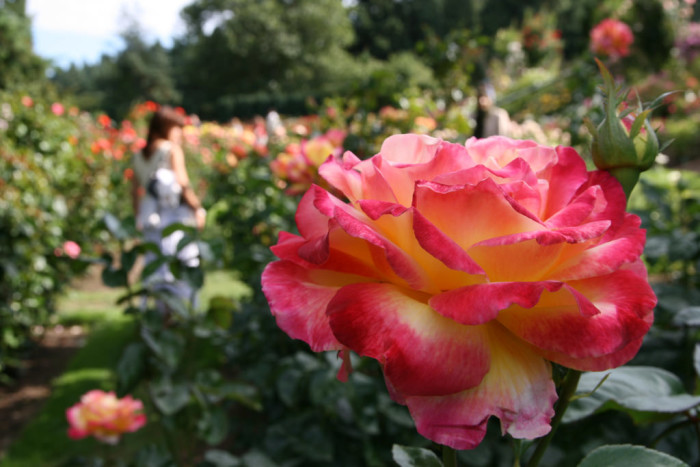 1. Smell the roses at the International Rose Test Garden in Portland.