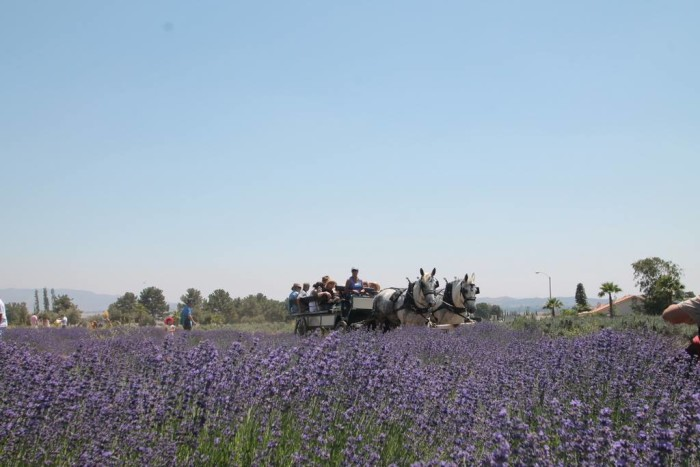 7. The Lavender Festival in the town of Cherry Valley