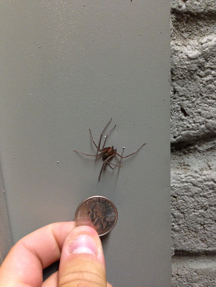 4. Brown Recluse