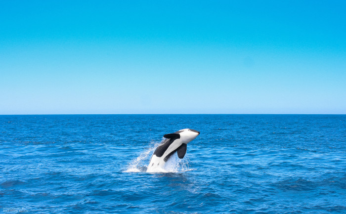 4. An Orca playing in the water. Photographed on a sightseeing boat that took off from San Diego.