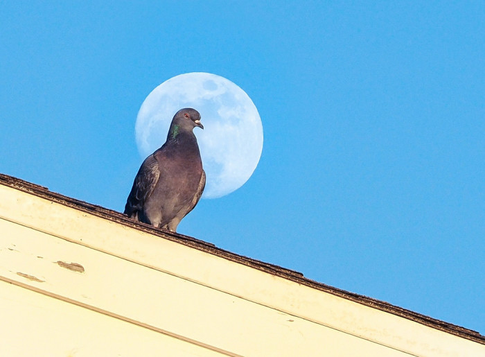 9. What an incredible shot of the moon and the pigeon. This stunning photograph was captured at Redondo Pier.