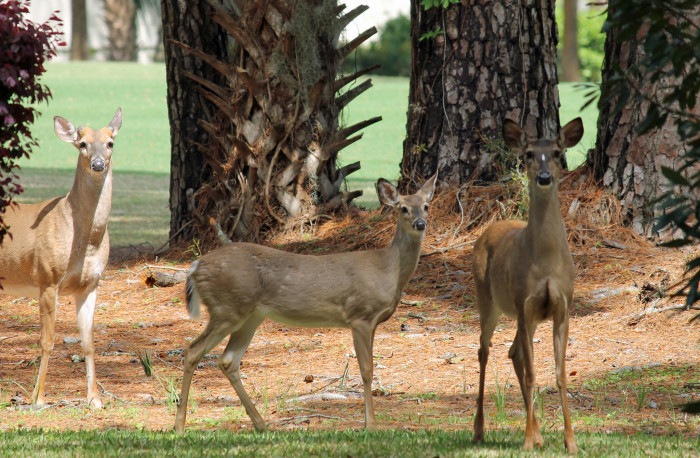 """9. """"People in Connecticut have a love/hate relationship with deer."""""""
