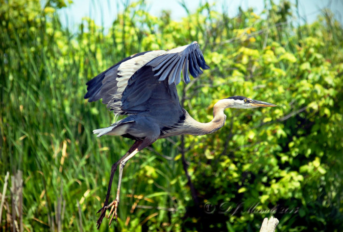 ...And even great blue herons are just a few of the species that populate Jug Bay.